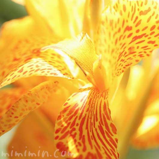 カンナ(黄色×赤)の花の写真 花言葉