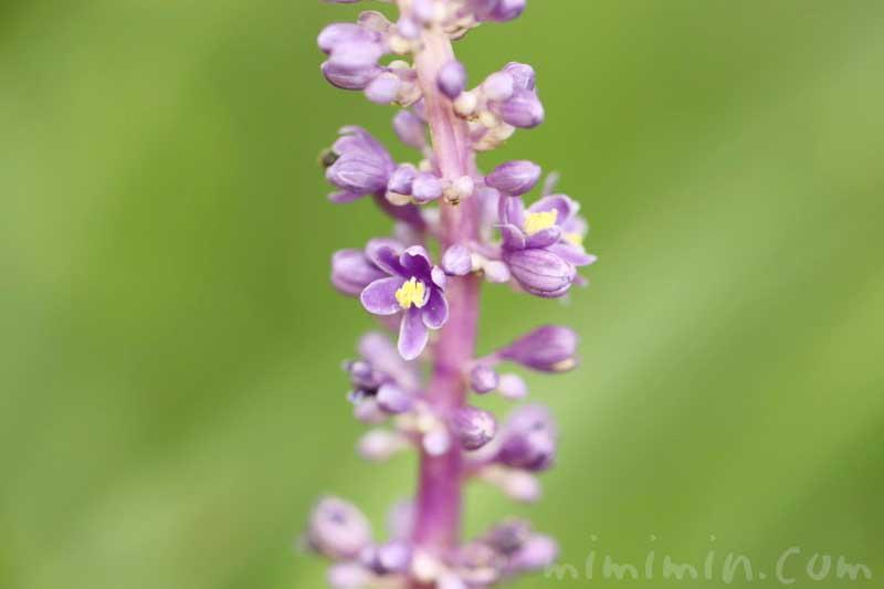 藪蘭の写真&花言葉の画像