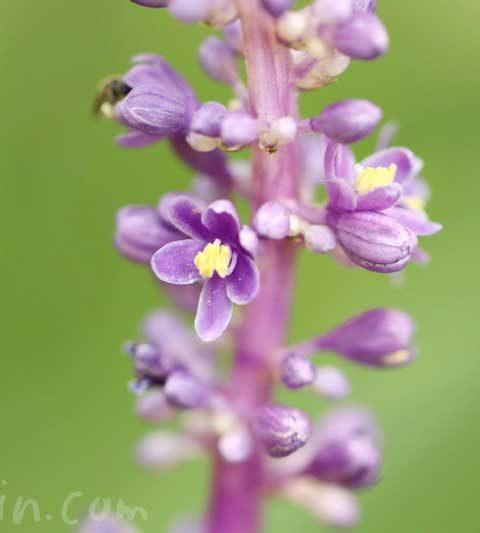 ヤブランの花の写真・花言葉・名前の由来・誕生花
