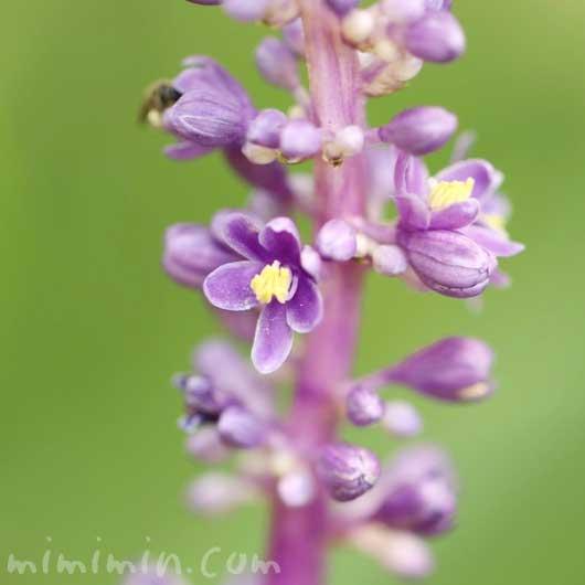 ヤブランの花の写真と花言葉