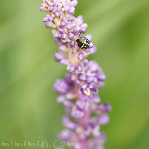 藪蘭の写真 花言葉