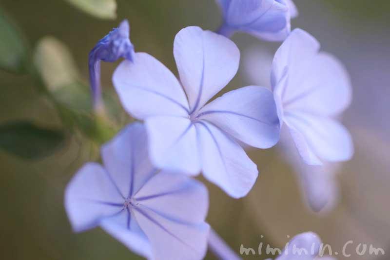 ルリマツリ(ブルー)の花の写真・花言葉と誕生花の画像