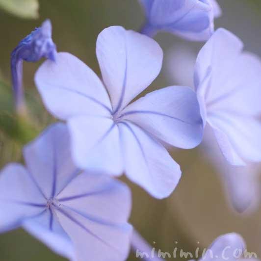ルリマツリの写真と花言葉と誕生花