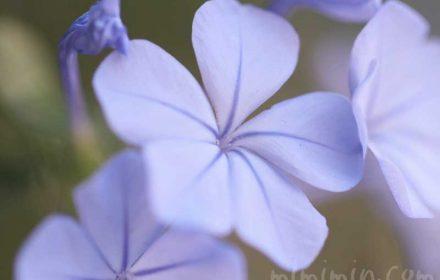 ルリマツリ(ブルー)の花言葉と誕生花