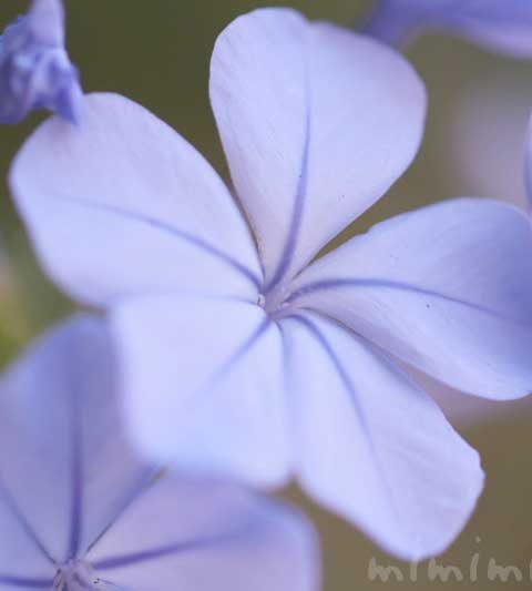 お散歩フォト・ルリマツリ(ブルー)|花言葉・誕生花