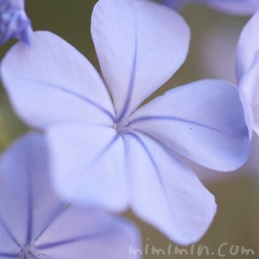ルリマツリの写真・花言葉と誕生花の画像