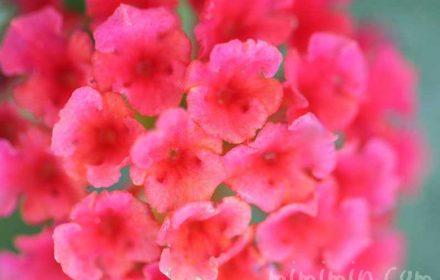 赤いランタナの画像