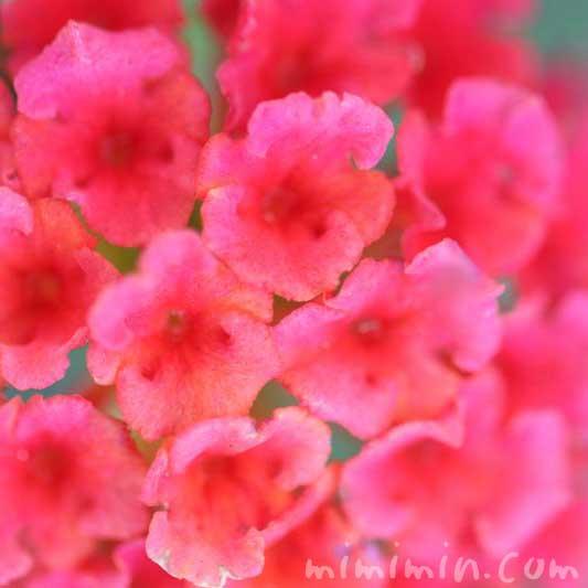 赤いランタナの花の写真
