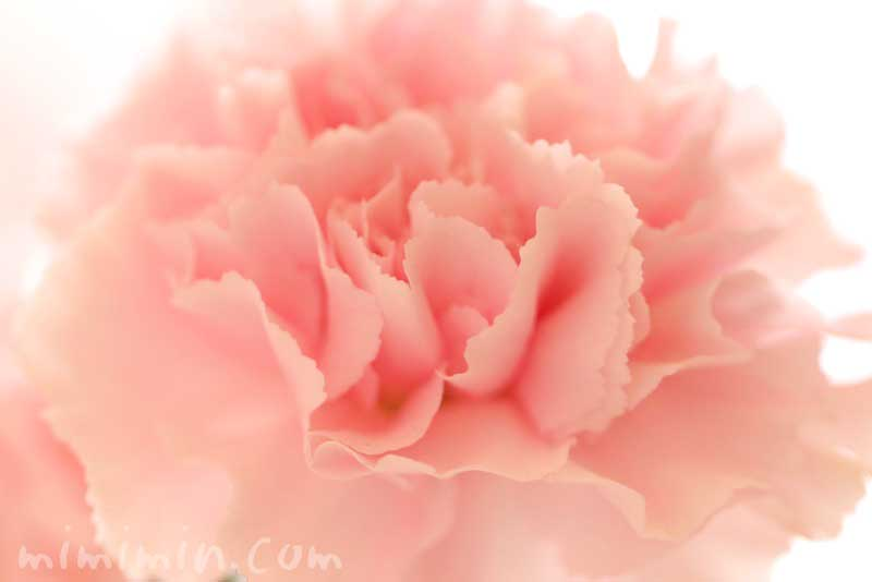 サーモンピンクのカーネーションの花