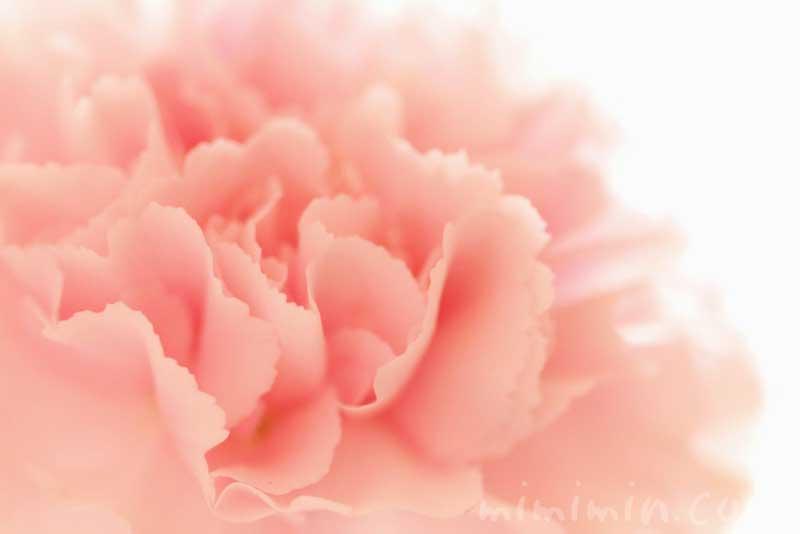 カーネーションの花言葉とサーモンピンクのカーネーション花の写真