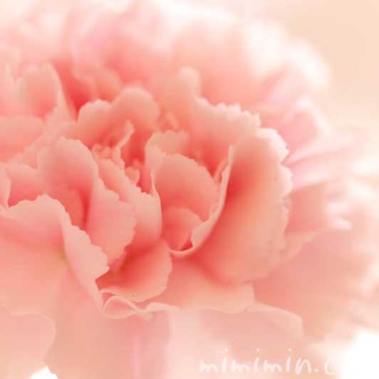 カーネーションの花言葉・サーモンピンクのカーネーション写真の画像