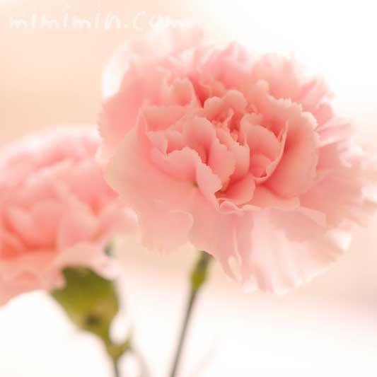 カーネーションの花言葉とサーモンピンクのカーネーション写真