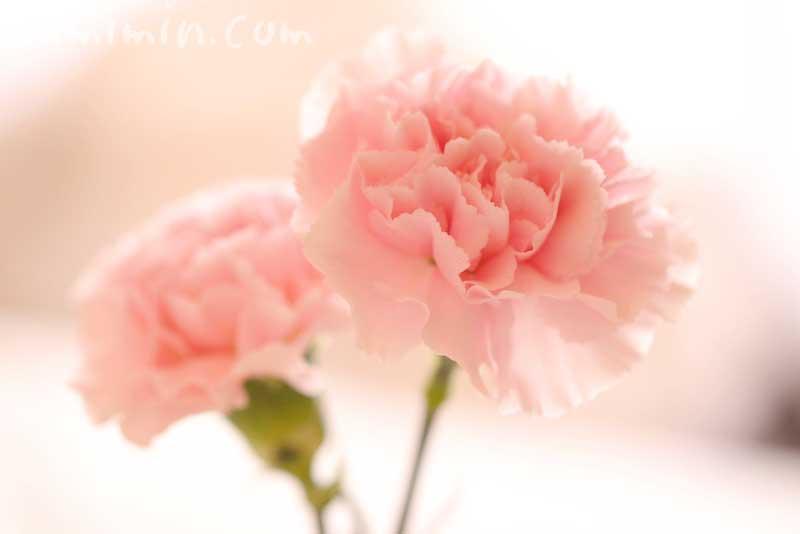 カーネーションの花言葉・サーモンピンクのカーネーション花の写真の画像