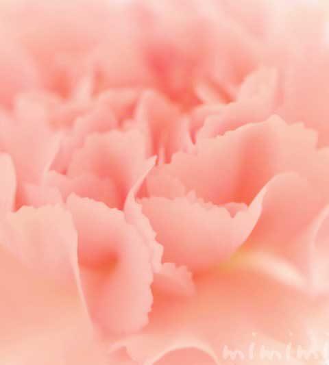 カーネーションの花の写真・花言葉・名前の由来