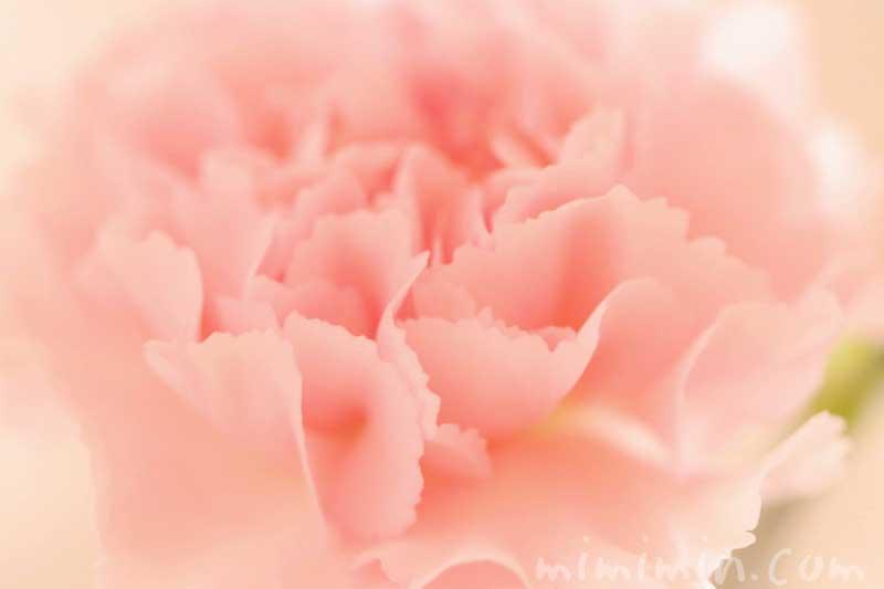 カーネーションの花(サーモンピンク)の写真