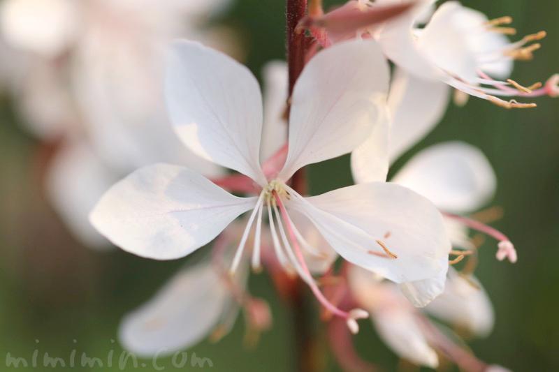 白蝶草(ハクチョウソウ・ガウラ)の写真 花言葉