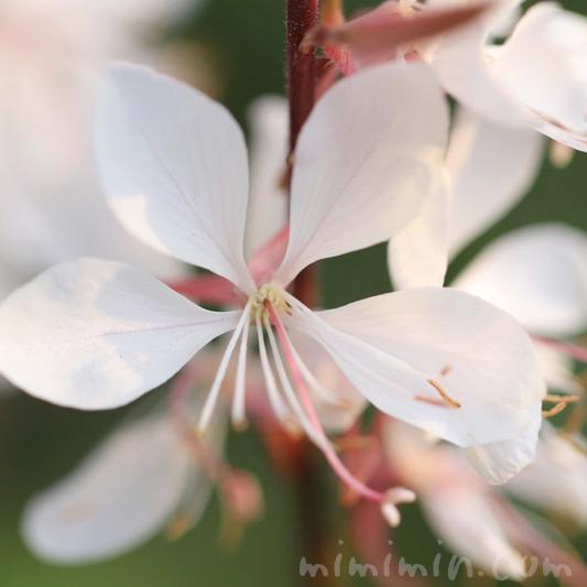 白蝶草(ハクチョウソウ・ガウラ)の花の写真 花言葉の画像