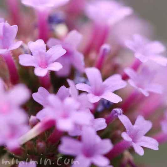 バーベナ・ボナリエンシスの花