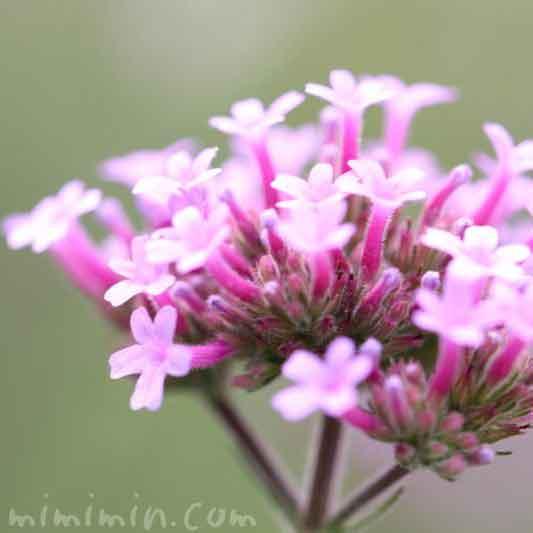 バーベナ・ボナリエンシスの花の写真