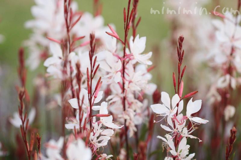 白蝶草(ハクチョウソウ・ガウラ)の花の写真と花言葉