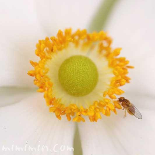 秋明菊(白)の写真・花言葉の画像