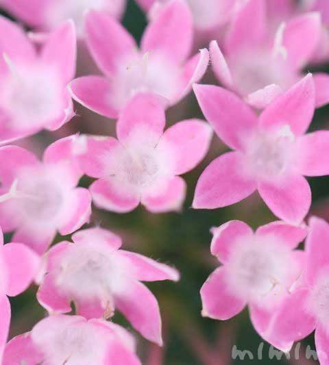 ペンタスの花言葉&花言葉の由来・ペンタスの写真