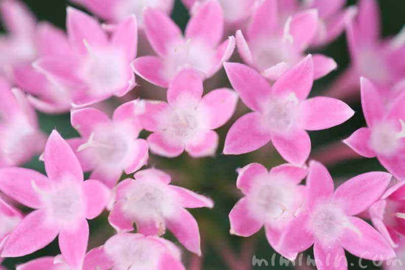 ペンタスの花言葉の由来の画像
