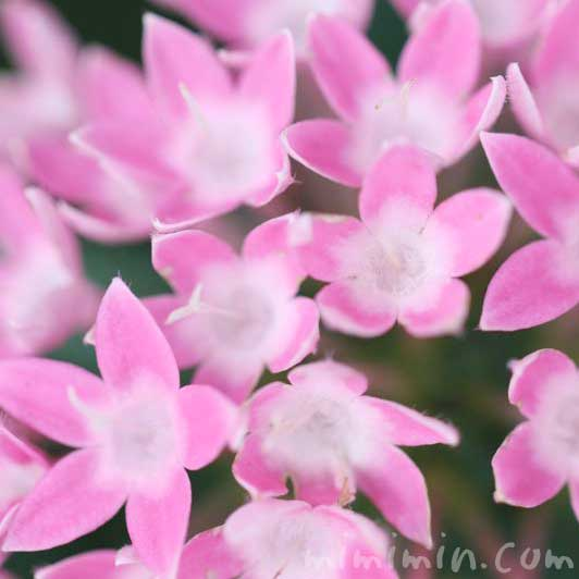 ペンタスの花言葉の由来と花の写真