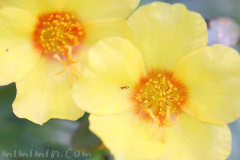 ポーチュラカ(黄色)の花言葉の画像