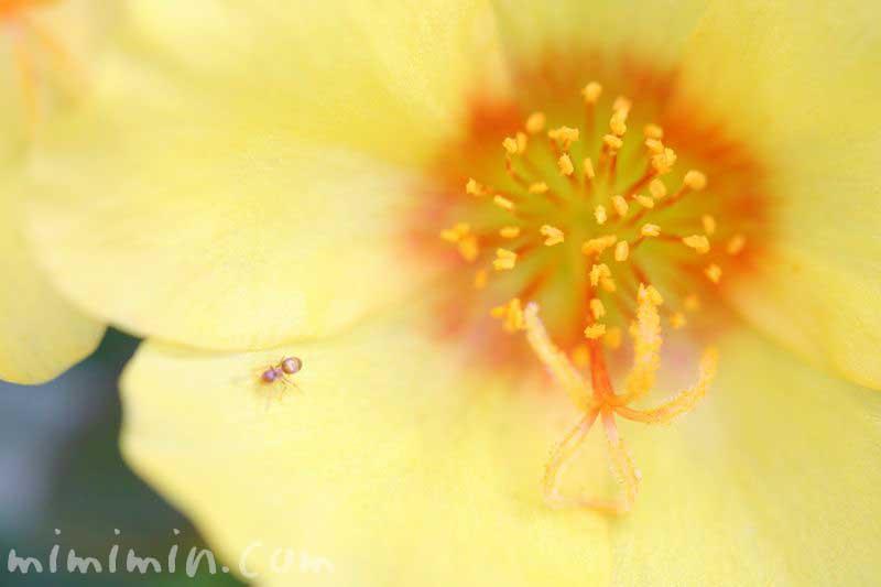 ポーチュラカ(黄色)の写真と花言葉