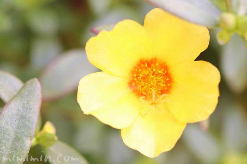 ポーチュラカ(黄色)の写真・花言葉の画像