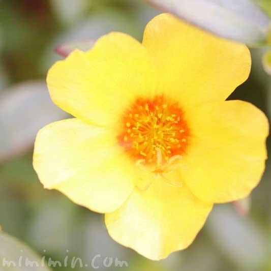 ハナスベリヒユ(黄色)の花言葉の写真