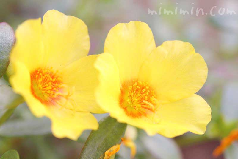 ポーチュラカ(黄色)の花の写真・花言葉の画像
