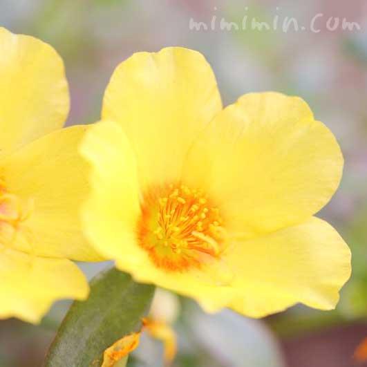 ポーチュラカ(黄色) 花言葉