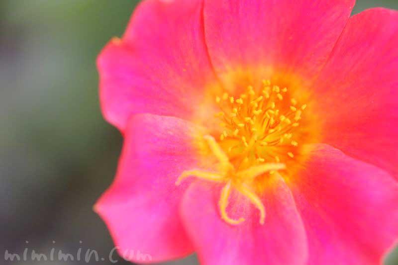 ハナスベリヒユの花の写真と花言葉の画像