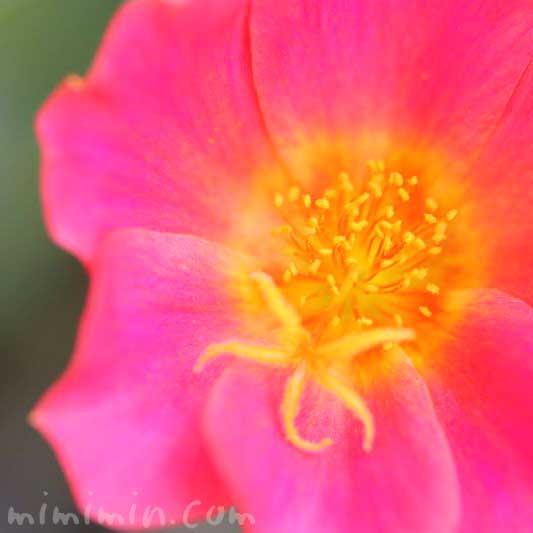 ハナスベリヒユの写真と花言葉の画像