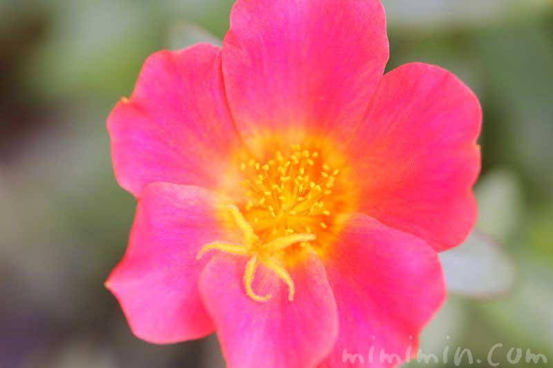 ポーチュラカの写真と花言葉の画像