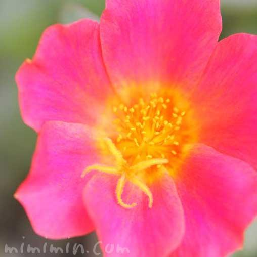 ポーチュラカの写真 花言葉