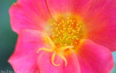 ポーチュラカの花の写真と花言葉の画像