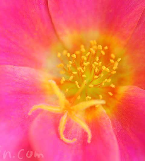 ポーチュラカ(ハナスベリヒユ)の花言葉・名前の由来・誕生花