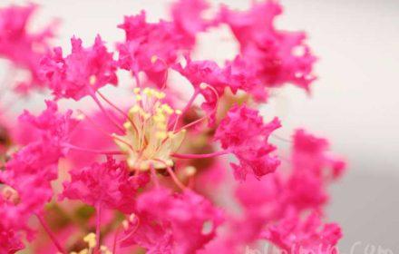 サルスベリの写真と花言葉・名前の由来・誕生花の画像