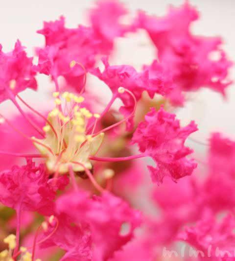 サルスベリの花言葉・名前の由来・誕生花