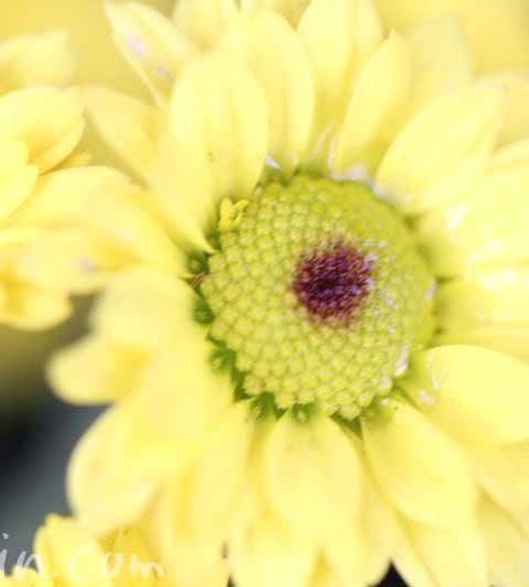 小菊の花の写真・花言葉・名前の由来