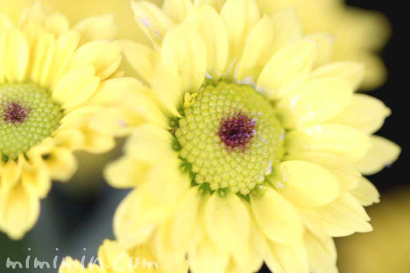 小菊・黄色の写真