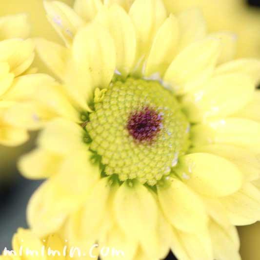 小菊の画像