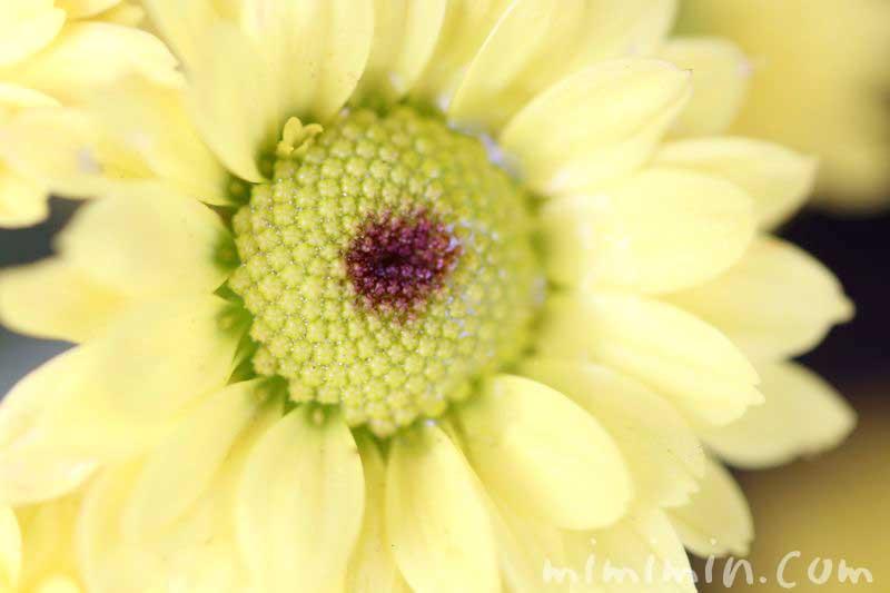 ヒマワリにみたいな小菊の画像
