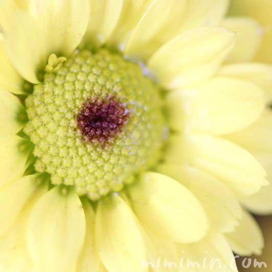 小菊の花の写真