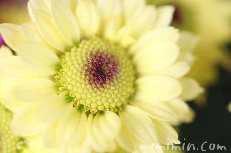 ヒマワリにみたいな小菊の花の写真