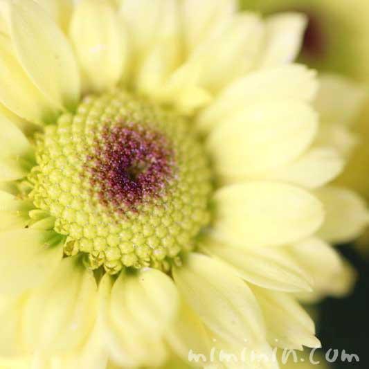 小菊の花・黄色の画像