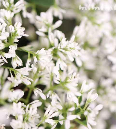 ユーフォルビアの花の写真・花言葉・名前の由来|ユーフォルビア・ダイアモンドフィズ